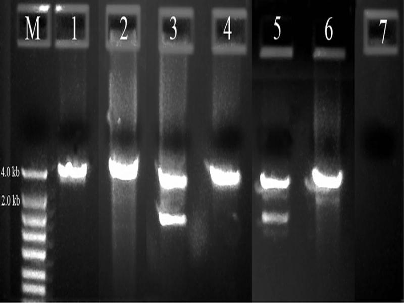 PCR amplification of a long rDNA segment with one primer